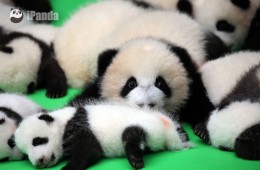 Baby pandas show up to celebrate National Day Holiday
