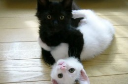 It's purrrfect! Yin and Yang cats living in harmony