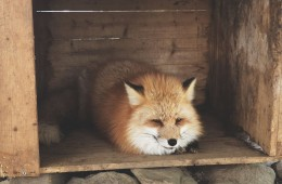 A trip to Fox Village In Japan, the fluffiest place on Earth