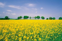 Springtime rapeseed flowers bloom in Caidian of Wuhan