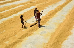 Paddy Drying: Golden Harvest in Bangladesh