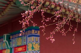 Peach blossom park attracts a good many tourists in Tianjin
