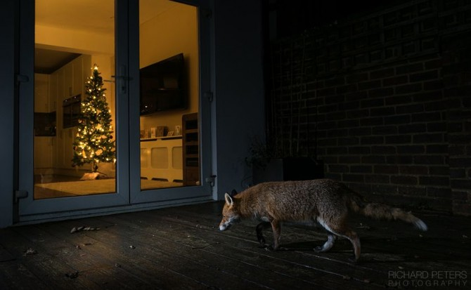 richard_peters_festive_fox.jpg.838x0_q80.jpg